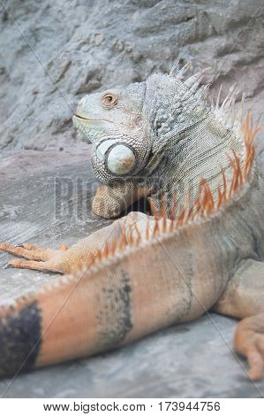 Close-up Red Iguana. Large lizard. Reptile. Cold-blooded animal