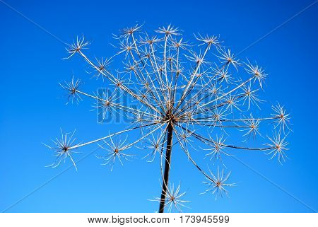 Plant infructescence with beautiful pattern by a blue sky