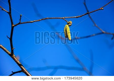 Hazel catkins on a twig by a blue sky a springtime symbol