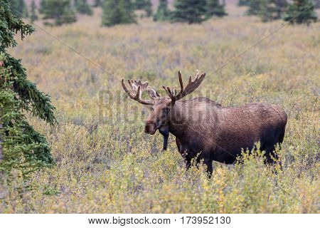 an Alaska Yukon bull moose in velvet in Denali National Park