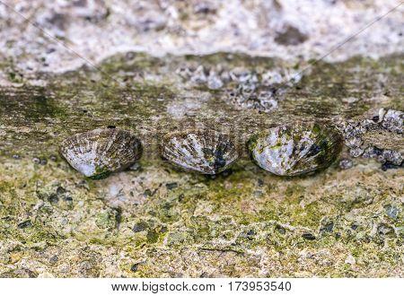 Patella vulgata sea snails on a concrete dock.