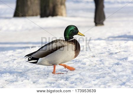 male duck the bird goes over the white snow feathers feet wings beak day winter