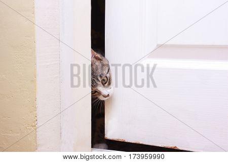 curiosity kitten looks in the half-open door he wants to enter