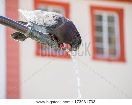 A pigeon pearched on a decorated metal pipe leans over to drink water flowing out of the pipe. Germany. Travel and animals concept.