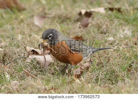 An American Robin (Turdus migratorius) in Carroll County Maryland, USA, holding a worm in its beak prior to eating it.