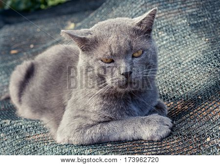 Displeased gray cat with yellow eyes is lying on gray grid.