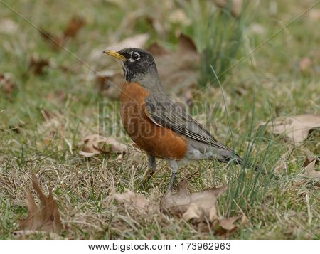 An American Robin (Turdus migratorius) pauses in its hunt for worms, in Carroll County Maryland, USA.