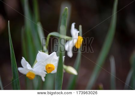 Close-up macro portrait of the Japanese paperwhite (Narcissus tazetta) clustered among its long leaves and stem. Travel and floristry concept.