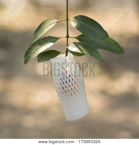 Ripe Plango Fruit Wraped By Foamnet Hanging On Tree