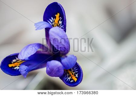 Close-up of showy picturesque bright iris flower on light background, floral greeting card to all the wonderful moments of life. Floral greeting card, natural backdrop. Top view. With place for your text