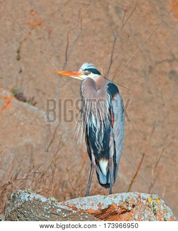 Great Blue Heron perching on the rocks at Morro Bay on the Central California coastline USA