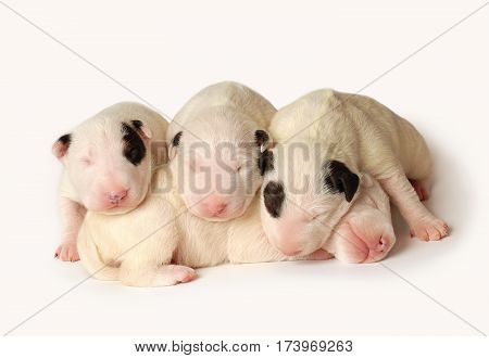 Four Miniature Bull Terrier Puppies, ten days old, lying in side over white background
