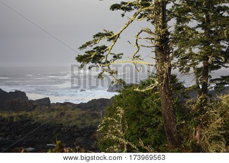 Beautifully lit, moss covered trees in front of rough ocean on the West Coast of Canada