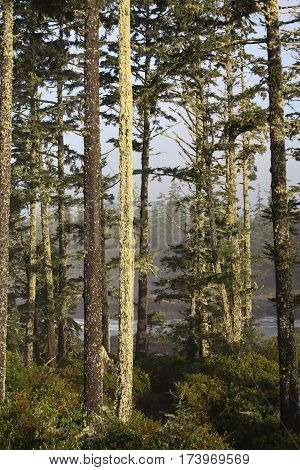 A cluster of moss green trees on the coast of British Columbia