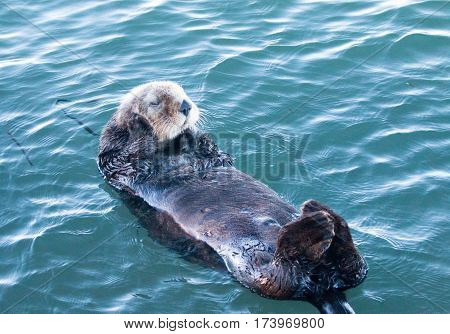 California Sea Otter - Morro Bay on the Central California Coast USA