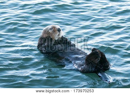 California Sea Otter bobbing in Morro Bay on the Central California Coast USA