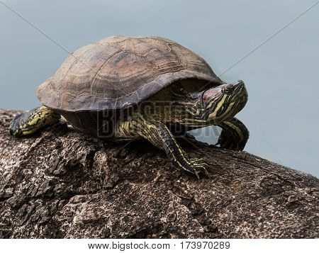 close up Red-eared Slider Turtle on a log
