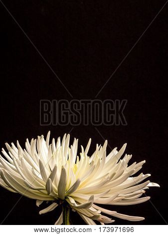 Beautiful Asteraceae on -plain black, portrait orientation