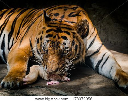 close up of tiger eating meat in Dusit zoo Bangkok Thailand