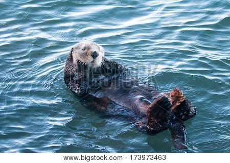 California Sea Otter floating while cleaning his fur in Morro Bay on the Central California Coast USA
