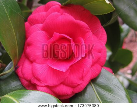 Single red flower of Camellia japonica Rachele Odero