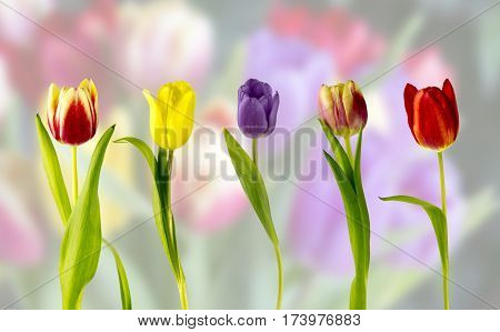 View of five tulips on a diffused background