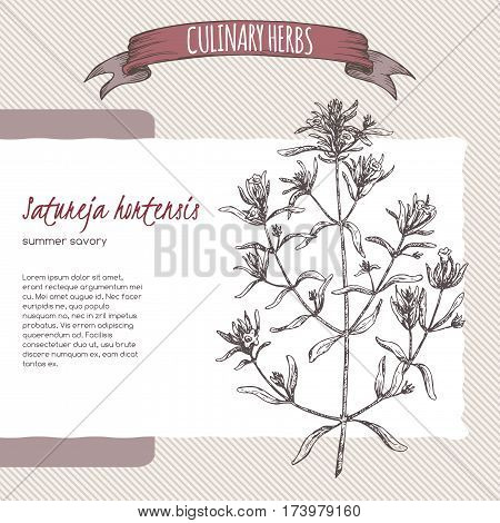 Satureja hortensis aka summer savory vector hand drawn sketch. Culinary herbs collection. Great for cooking, medical, gardening design.