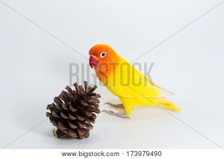 Yellow Lovebird On Branch