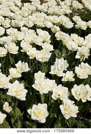 Flowerbed with many white tulips horizontal orientation.