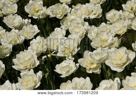 Flowerbed with many white colour tulips, horizontal
