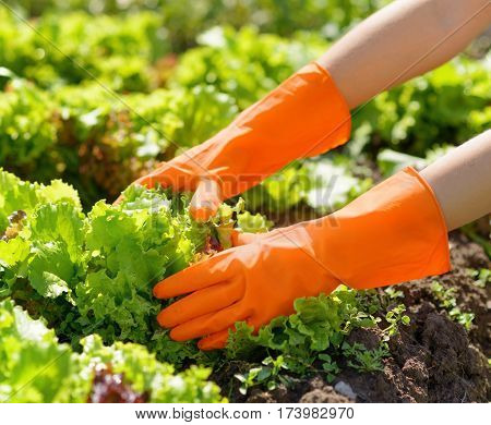 Woman In Orange Gloves Working In The Garden