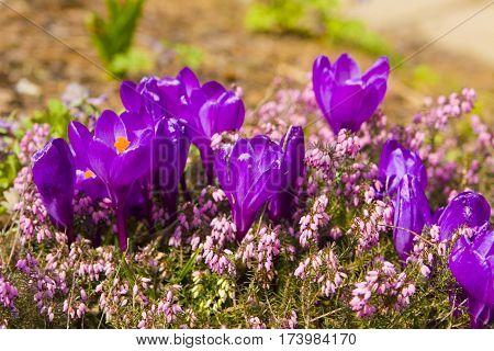 First spring flowers purple crocuses on flowerbed.
