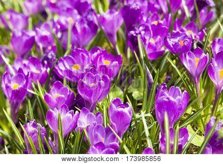 Many purple crocuses on gorund close view.