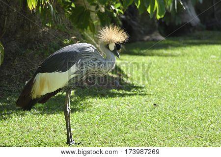Crowned Crane (Balearica regulorum) standing on the grass with sun in the crown picture from park in Puerto de la Cruz Tenerife Spain.
