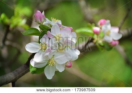 Blossoming apple closeup. Delicate herb fragile flowers of apple. Spring came. Nature awoke. Starting a new life. The fragrance of blooming gardens.