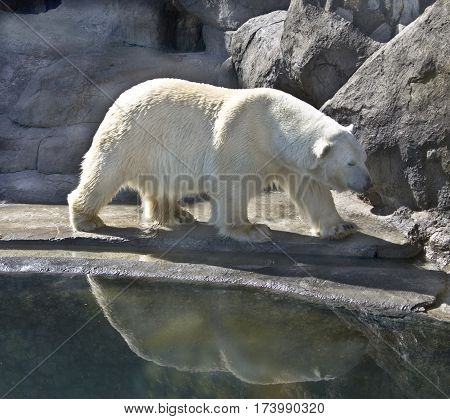 White polar bear standing near rocks and water with reflection