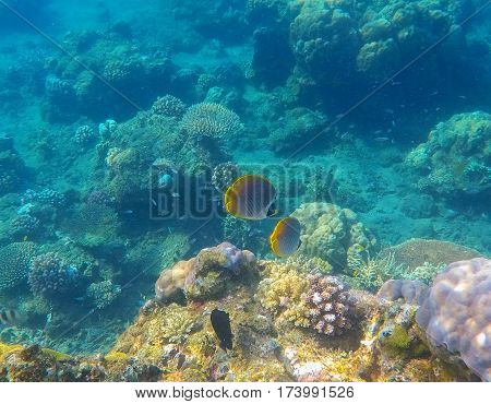 Coral reef landscape with yellow butterfly fishes. Blue sea water with sunlight rays. Snorkeling photo of sea bottom with corals and sea plants. Oceanic life ecosystem. Coral landscape perspective