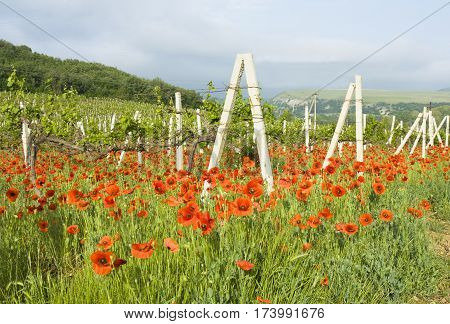 Summer landscape with red poppies on vineyards hills behind recorded in region Crimea in Ukraine.