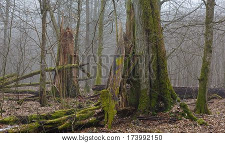 Monumental oak trees of Bialowieza Forest deciduous stand,Bialowieza Forest,Poland,Europe