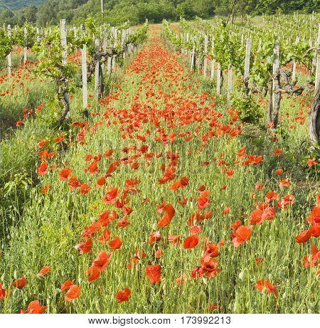 Summer landscape - red poppies in vineyard recorded in region Crimea Ukraine.