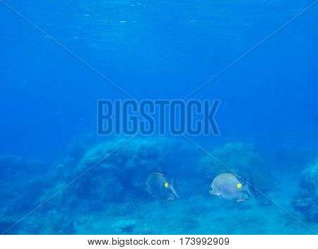 Underwater landscape with tropical fish by sea bottom. Deep blue sea lagoon with colorful coral fish Surgeon. Wild aquarium of exotic island seashore. Snorkeling photo with surgeonfish by coral reef