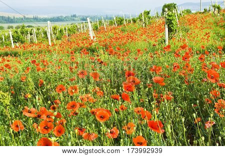 Summer landscape - meadow with red poppies and vineyard hills on horizon recorded in region Crimea in Ukraine.