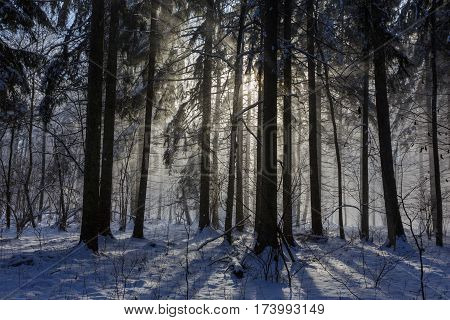 Snowfall inside natural stand of Bialowieza Forest direct into sun, Bialowieza Forest, Poland, Europe