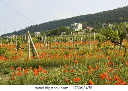 Summer landscape - red poppies in vineyards houses and hills behind recorded in region Crimea in Ukraine.