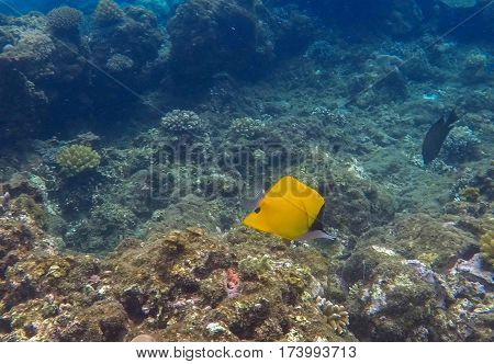 Coral reef landscape with yellow butterflyfish. Blue sea water with sunlight rays. Snorkeling photo of sea bottom with corals and sea plants. Oceanic life ecosystem. Brown coral reef and tropical fish