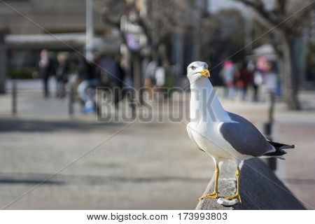 The yellow-legged gull or Larus michahellis, is a large gull of Europe, the Middle East and North Africa.