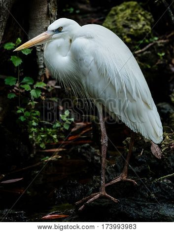 Great Blue Herons are large birds with wingspans up to six feet. The white species is more rare but can be found in Southern Florida. poster