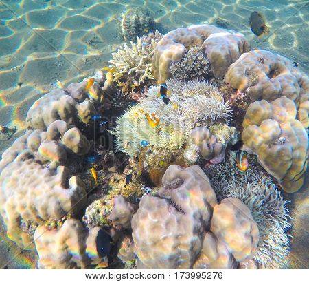 Coral reef on sand sea bottom. Sea corals and plants symbiosis. Tropical sea nature. Snorkeling photo of young coral reef with actinia. Small coral fishes in sea lagoon under sunlight. Exotic vacation