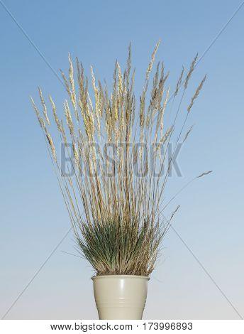 Wild Grass In White Pot