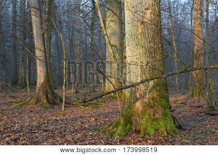 Old oak trees of natural stand in mist with broken ones in foreground,, Bialowieza Forest, Poland, Europe